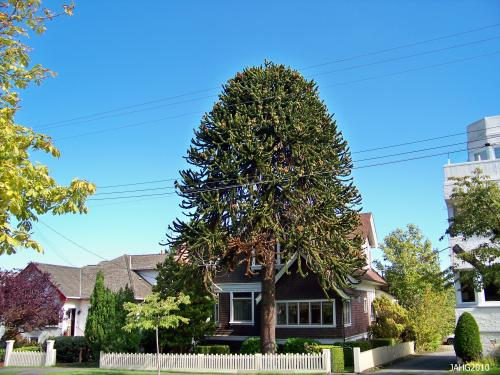A large mature male Araucaria araucana or Monkey Puzzle tree found across from Beacon Hill Park in Victoria.