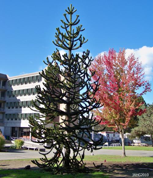 This young Monkey Puzzle tree is at University of Victoria campus is a male.