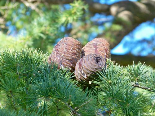 The large cones which sit up-right are just one of the attractive features of Cedrus deodara