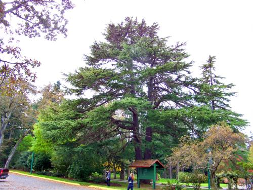 One of the many majestic Deodar Cedars found in Beacon Hill Park.