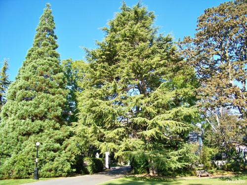 This Cedrus deodara is found next to the driveway exit at Government House.