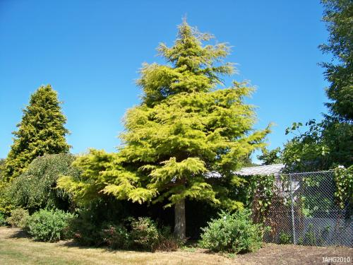 The wonderful golden plumed Cedrus deodara 'Aurea' has stunning color and is found in Hollywood Park which is between Fairfield Rd. and Earle St.