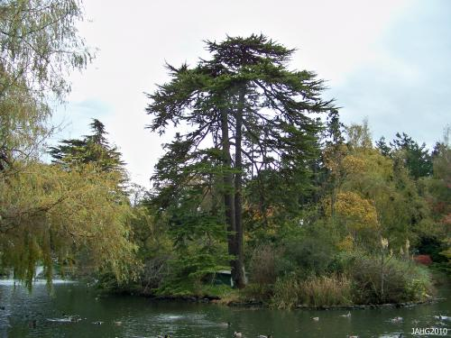 This Deodar Cedar in Good Acre Lake is favorite Heron perch found in Beacon Hill Park.