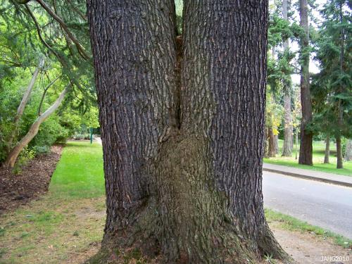 The attractive bark of Cedrus deodara is seen in this multi-trunked tree.