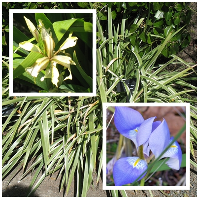 Gladwyn Iris on the upper left and Algerian Iris on the lower right.