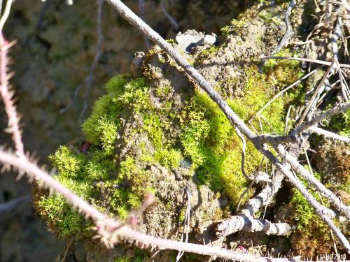 Wet Rock Moss (Dichodontium pellucidum) is found on sea level cliffs and bluffs is an important soil stabilizer.