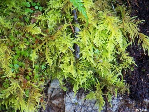 One of the most beautiful of Mosses found in this area is Oregon Beaked Moss (Kindbergia oregona).