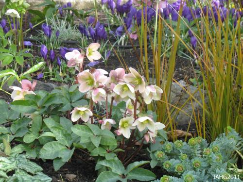 A fine combination of plants found at Government House with Helleborus x ericsmithii being the star in earliest spring.