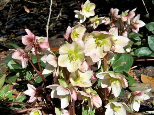 Helleborus x ericsmithii brings together the best genes of 3 species into a spectacular plant.