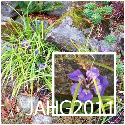 Winter or Algerian Iris (Iris unguicularis) is sometimes incorrectly labeled by its old name of Iris stylosa.
