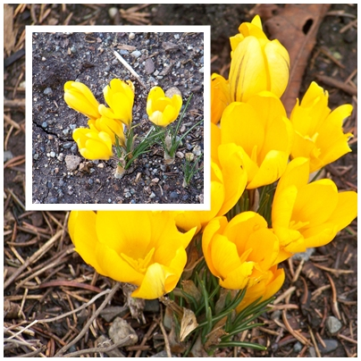 The golden yellow color of Dutch Crocus early in the spring is one of the gaudiest sights in the garden.
