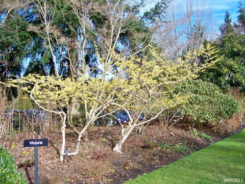 Finnerty Gardens has several Hamamelis x intermedia including this group located near the main enterance naer the chapel.