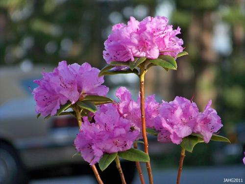 The Dahurian Rhododendron (Rhododendron dauricum) is a bright beacon in early spring.