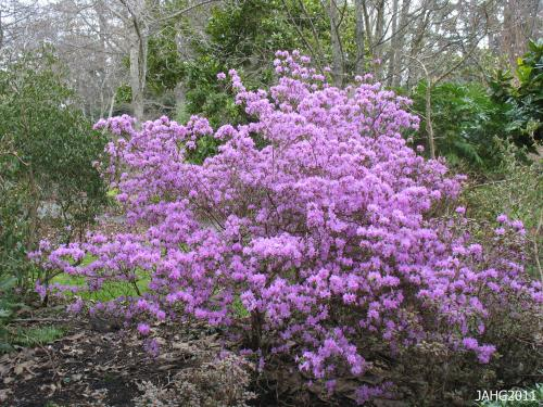 This large Dahurian Rhododendron is found at Finnerty Gardens and the largest one at the gardens.