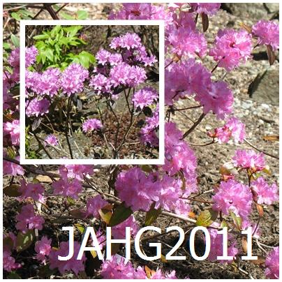 2 lesser known dauricum hybrids are Rhododendron 'Olga Mezitt' in the background and Rhododendron 'Black Satin' in the upper left corner.