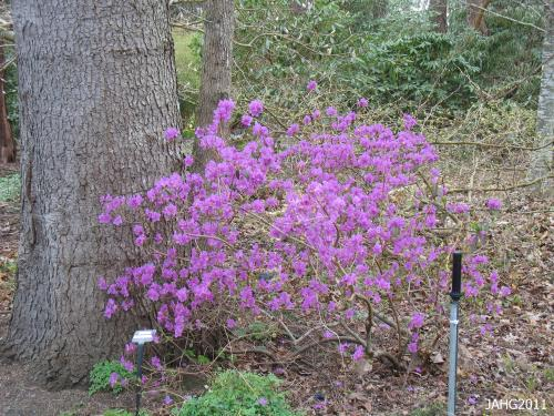 This is one of several Rhododendron dauricum found at Finnerty Gardens.