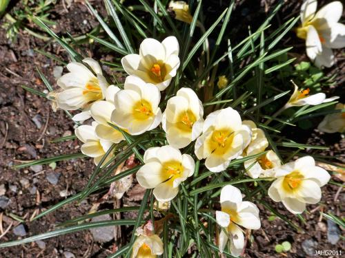 This is Crocus 'Snow Bunting', a cheery flower in which each petal base is bright yellow.