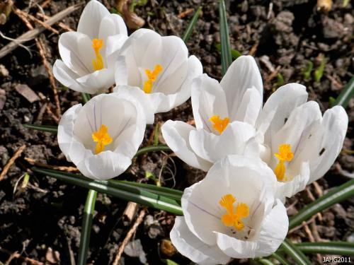 These Dutch Crocus Hybrids have incredibly huge flowers, yet have a delicate quality.