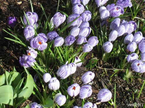 Crocus 'Pickwick' is my favorite Dutch Crocus with its gloriously striped blossoms.