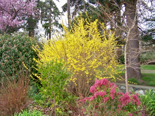 Here Forsythia x intermedia is seen with another brightly flowering shrub Pieris 'Valley Valentine'.