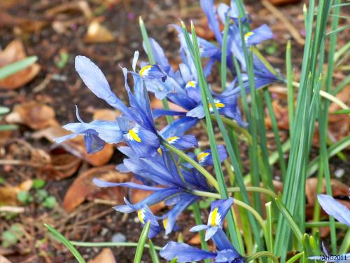 "Iris reticulata ""Alida' has a distinct solid pale blue coloring with a dash of lemon in its throat."
