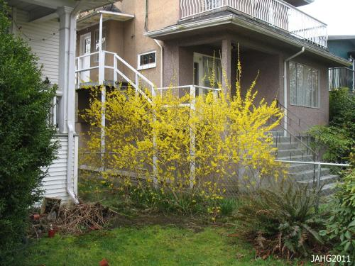 A very old Forsythia x intermedia near Commercial Drive in Vancouver.