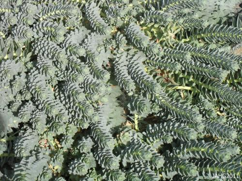 The serpentine foliage of Euphorbia myrsinites becomes grayer in the drought and heat of summer here.