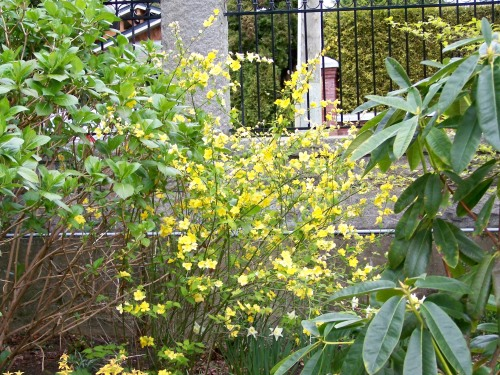 This single flowered Kerria japonica is seen amoungst the mixed perennial and shrub border at Government House.