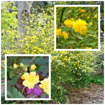 The more common Kerria japonica 'Pleniflora' on the upper right and on the lower left is the single type.
