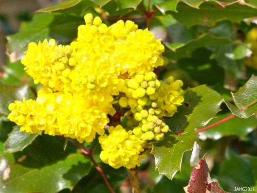 I find the variation in the flower panicles  of Mahonia aquifolium (Oregon Grape) interesting, some are stumpy like this one while others are loose and open like the 2nd picture in this article.