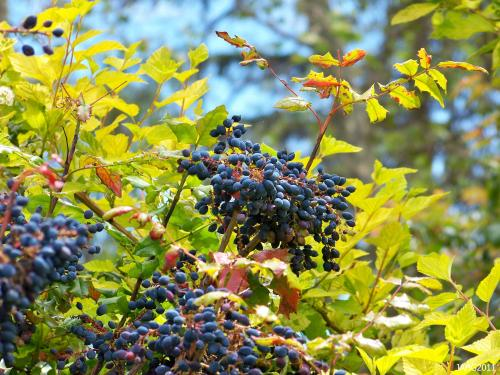 Oregon Grape (Mahonia aquifolium) produced copius crops of blue fruit which are eaten by birds after it has been touched by frost to sweeten it.