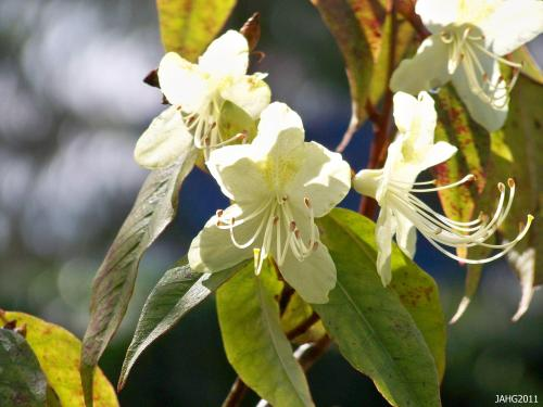 The flowers of Rhododendron lutescens vary in the yellow coloring from very pale to deeper shades and sometimes appear almost greenish.