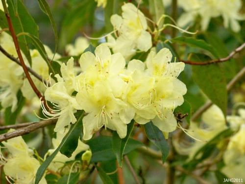 The brilliantly colored flowers of Rhododendron lutescens are a beacon of light in the garden at this time of the year.