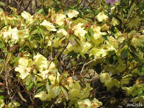 Rhododendron 'Goosander' shows a similar yellow coloring of parent Rhododendron lutescens.