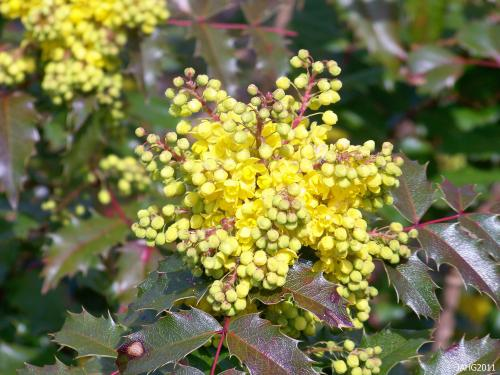 The bright flowers of Mahonia aquifolium contrast nicely with wine tinted evergreen foliage.