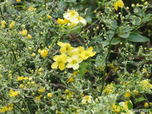 Kerria japonica 'Variegata' (Picta') has single flowers and  green leaves which are delicately edged in cream. This plant can been seen at Finnerty Gardens.