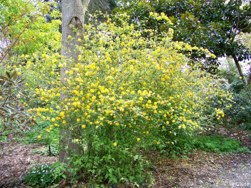 Kerria japonica 'Pleniflora', the double form is most commonly in gardens.