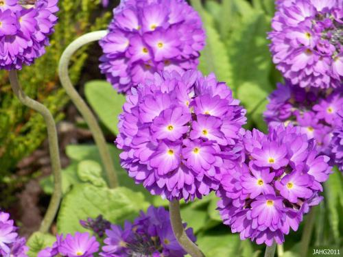 Colors of Primula denticulata range from pure white, mauves and lavender shades into deep maroon.