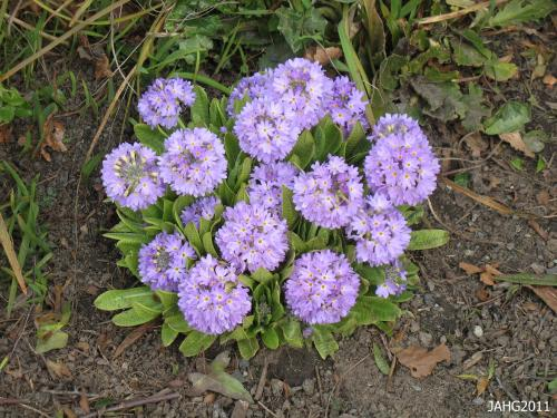 Primula denticulata can be quite variable in its height and coloring and this has lead to some confusion for plant collectors looking for new plants in Asia.