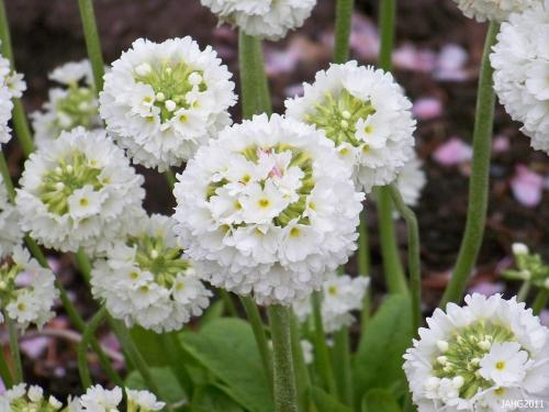 The pure white of Primula denticulata 'Alba' has inspired famous gardeners such as William Robinson to view it to be 'one of the finest of all spring perennials'.