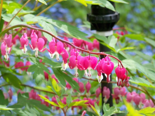 Any child would be fascinated by the Bleeding Heart(Lamprocapnos spectabilis) flowers.