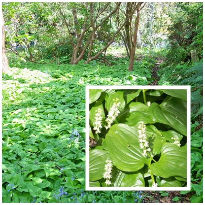 Wild(False) Lily of the Valley (Maianthemum dilatatum) provides a strong and lush groundcover.
