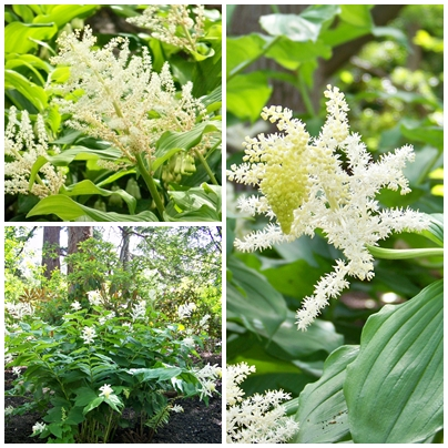 As a child I would pick armloads of Maianthemum racemosum (Smilacina) and give them to my mother to put in vases at home.