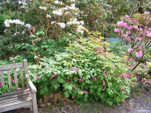 The delicate foliage of Lamprocapnos spectabilis (Bleeding Heart) is a perfect foil for more solid plants and structures like this bench.