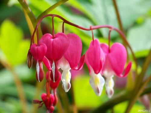 Lamprocapnos spectabilis (Bleeding Hearts) might look delicate but they are tough, hardy plants.