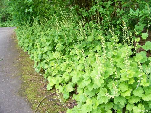 Tellima grandiflora (Fringe Cups) are found edging a shade path in Beacon Hill Park.