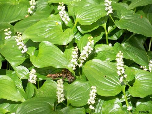 Maianthemum dilatatum (Wild Lily of the Valley) is now is the same  botanical family as the real Lily of the Valley(Convillaria majalis).