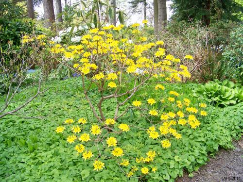 This bright Rhododendron luteum is set of by the lush Maianthemum dilatatum covering the ground so completely at Finnerty Gardens.