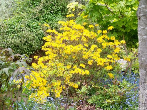 The bright yellow color of the Pontic Azalea is pleasing and blends well in many plant combinations.