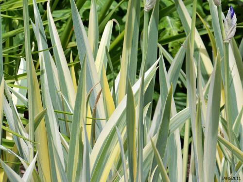 The foliage of the Variegated Sweet Iris is distinct and beautiful